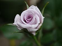 バラ:1番花開花 2011