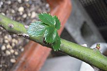 バラ:植替え後の新芽