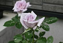 バラ:1番花の開花 2012