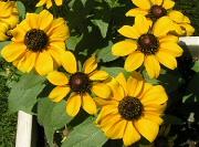 次々と開花するルドベキア