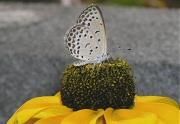 ルドベキアの花とシジミチョウ