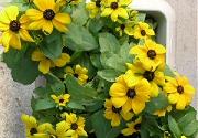 ルドベキアの11月上旬の花