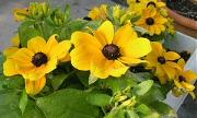 ルドベキア:12月中旬の花
