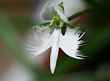 サギソウ:開花 2011