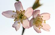 サクラ:開花
