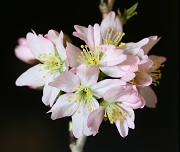 サクラ:本格的に開花