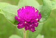 センニチコウ:赤い花の開花