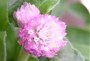 センニチコウ:ピンク色の花