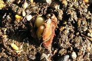 チューリップの発芽