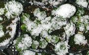 ビオラの苗に積もる雪
