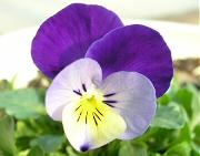 ビオラ:紫色の花の開花