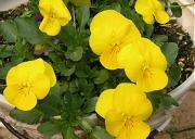 ビオラ:花が次々と開花