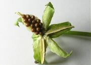 ビオラ:種子はじける
