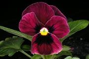 ビオラ(フルーナ):赤紫色の花
