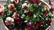 ビオラ:フルーナの花数が増えてきた