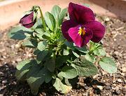 ビオラ:スイートローズの花数が増えてきた