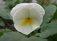 ビオラ(ソルベ):最初の花の開花