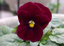 ビオラ(ソルベ):濃い赤紫色の花の開花