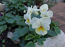 ビオラ(ソルベ):花数が増えてきた
