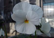 ビオラ ソルベ バナナクリームの花色 白色<br />