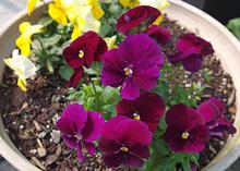 ビオラ:暖かくなり花数が増えてきた