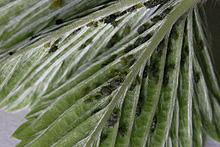 ワイルドストロベリーの新葉に寄生するアブラムシ