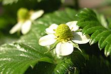 ワイルドストロベリー:開花