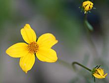 ビデンス(ウィンターコスモス):開花