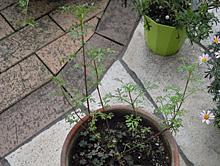 ビデンス(ウィンターコスモス):切り戻しの新芽の生長