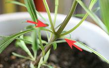 ジニア:腋芽の伸長