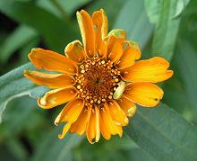 ジニア:最初の花が咲きました