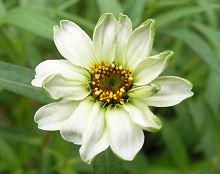 ジニア:白い花が咲きました