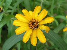 ジニア:黄色い花が咲きました