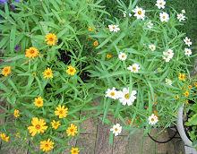 ジニア:花で賑やかになってきました