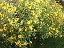 猛暑でも元気に花が咲き続けたジニア