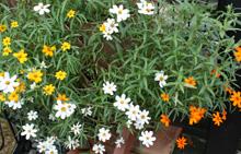 ジニア:10月下旬の花