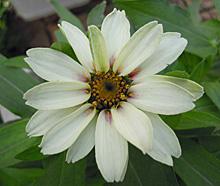 ジニア:開花(ザハラ)