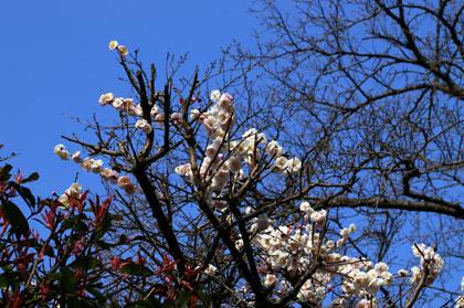 梅が咲いていたよ