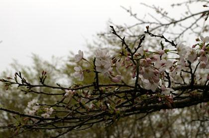 桜はまだまだ