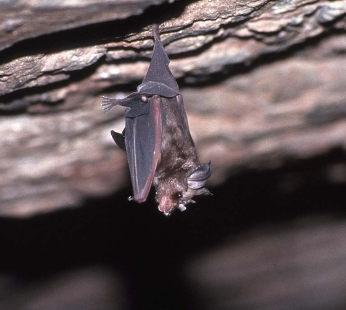 コウモリの画像 p1_6
