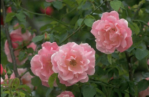 蔷薇处处开简谱 邓丽君