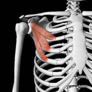 ... C7) 図29.小胸筋(C5~C8、T1