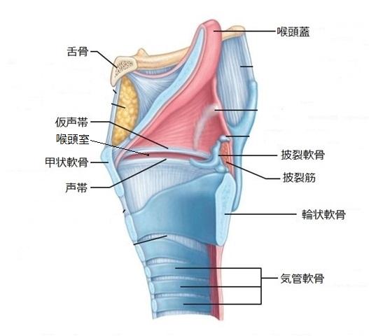 甲状 軟骨 輪状 軟骨