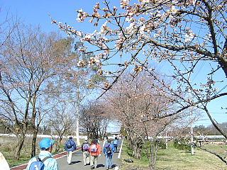市野川沿いの桜
