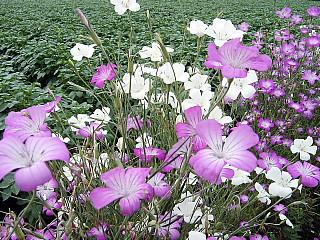 コスモスのような花---麦仙翁 2