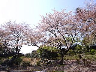 三ツ沢の桜