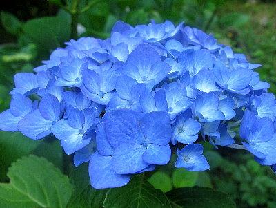 紫陽花(アジサイ) 和歌歳時記