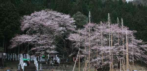 淡墨桜」 桜狩06 東京編 / sa-06-027.htm/ 100404-060418-060418