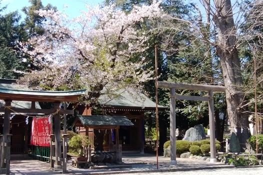 日本の桜/厚木空神社